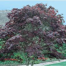 shop 12 7 gallon bloodgood japanese maple feature tree l1088 at