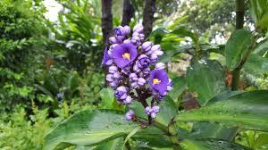 sydney native plants from across the seas the gardenesque at vaucluse house sydney