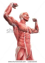 Photos Of Human Anatomy Skeletal Muscle Stock Images Royalty Free Images U0026 Vectors
