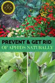 Companion Vegetable Garden Layout by How To Prevent U0026 Get Rid Of Aphids Companion Planting Tips
