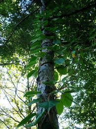 spotlight on hardy kiwi u0026 how to prune u2013 the fruit nut