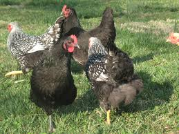the pros and cons of raising chickens backyard chickens