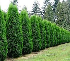 connecticut tree sales has amazing prices on premium quality