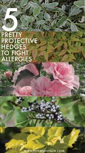 native hedging plants stop allergies how to plant pretty protective hedges