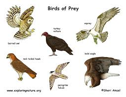 bird of prey poster