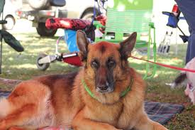 belgian shepherd qld real estate townsville