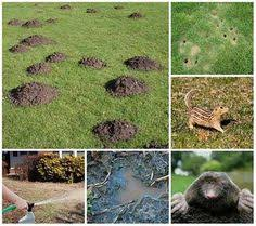 How To Get Rid Of Moles In The Backyard by 100 Percent Foolproof Way To Get Rid Of Moles Mole Pepper And