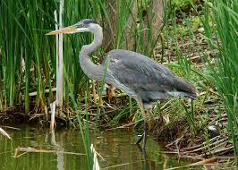hinterland who u0027s who great blue heron