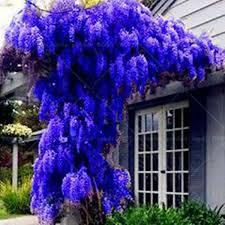 10 seeds pack sale new blue wisteria tree seeds indoor