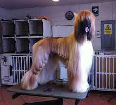 owning an afghan hound 18 best images about hounds on pinterest models beautiful dogs