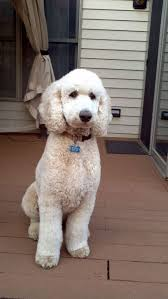 67 best poo poo poodles images on pinterest standard poodles
