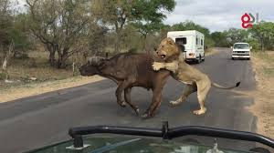 435 Meters To Feet by Lions Attack Buffalo Meters From Tourists Youtube