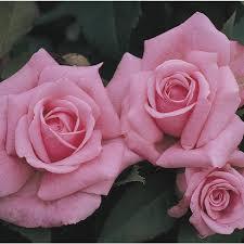 shop roses at lowes com