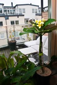 plumeria frangipani growing indoors in containers