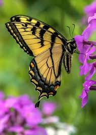 yellow monarch butterfly yellow butterfly meaning
