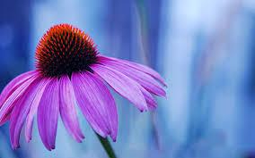 Flower Pictures Free Macro Flowers Wallpaper 1680x1050 83306