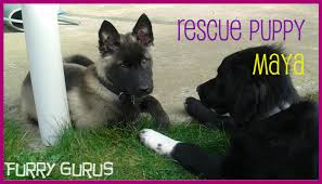 belgian shepherd rescue dogs welcoming our rescue puppy maya to the family husky belgian