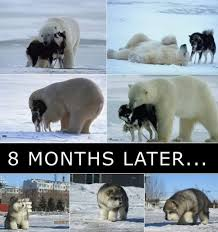Polar Bear Meme - husky bear meme by jack the raper memedroid
