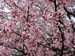 virginia native plants list flowering trees in virginia a guide for spring