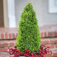 7 best dwarf conifers images on pinterest plants evergreen