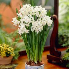 paperwhite flowers bloomsz paperwhites ziva 7 pack bloomsz
