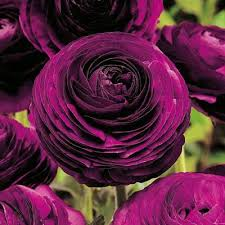 ranunculus flower purple ranunculus direct gardening