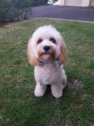 Dog Grooming Styles Haircuts Dogue Balmain Dog Grooming Luxury Dog Boutique