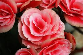 begonia flower begonia flower pictures meanings