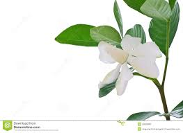 common gardenia stock images 74 photos