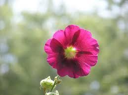 Hollyhock Flowers Beautiful Hollyhock Flowers Image Jpg Hi Res 720p Hd