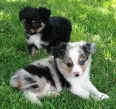5 week old mini australian shepherd miniature australian shepherd puppy for sale in wilsonville or