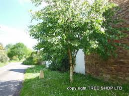 broadleaf trees traceable deciduous trees uk