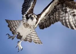 birdist rule 93 understand how different raptors are built to