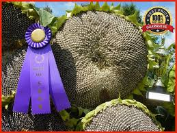 the 25 best sunflower seeds ideas on