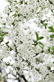 Tree With Little White Flowers - pure white plum tree pure white and white white