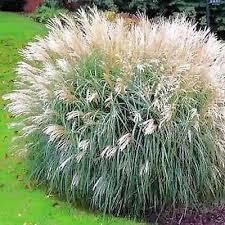 ornamental grass seeds the sun seeds