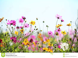 spring flower royalty free stock images image 23346769