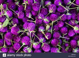 button flowers gomphrena globosa globe amaranth or bachelor button flowers