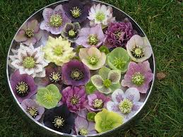 plant hellebores for winter and spring color the real dirt blog