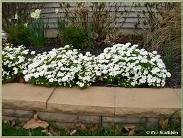 candytuft an easy year round garden beauty