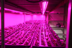 horticultural led grow lights horticultural led grow lights grower looks to increase efficiency