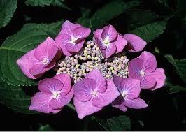 hydrangea popular ornamental plants kinds of ornamental plants