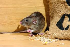 rodent control and removal rambo total pest control