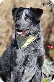 australian shepherd upstate ny lil u0027 bit adopted dog albany ny australian cattle dog