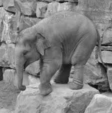 grayscale photo of elephant on top of rock free image peakpx