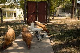 backyard chickens archives rivard report