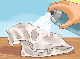 how to preserve a skull 9 steps with pictures wikihow