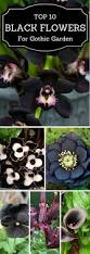 pizzo native plant nursery best 25 gothic flowers ideas on pinterest black flowers black