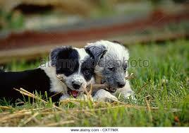 australian shepherd queensland heeler mix puppies blue heeler puppy stock photos u0026 blue heeler puppy stock images