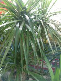 dracaena plant care growing planting cutting diseases pests